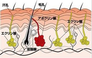 アポクリン腺
